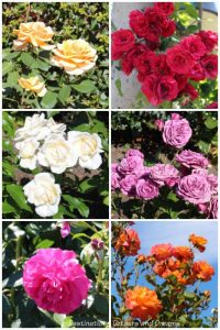 A collage of different coloured roses in the University of British Columbia Rose Garden