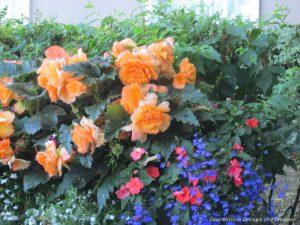 Large begonia blooms