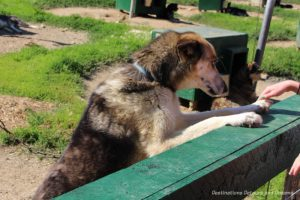 Dog at Chena Hot Springs Kennel, Alaska
