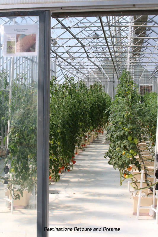 Tomatoes growing in Chena Hot Springs Resort greenhouse