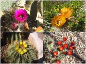 Cacti blooms at Desert Botanical Garden in Phoenix, Arizona