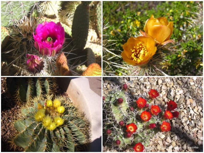 Cacti blooms at Desert Botanical Garden in Phoenix, Arizona