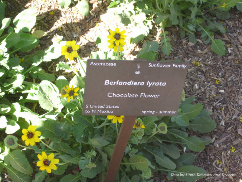 Chocolate Flower at Desert Botanical Garden