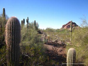 Saguaros and other cacti at Phoenix Desert Botanical Garden
