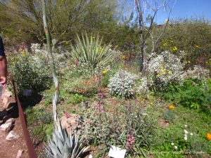 Wildflowers at Phoenix Desert Botanical Garden