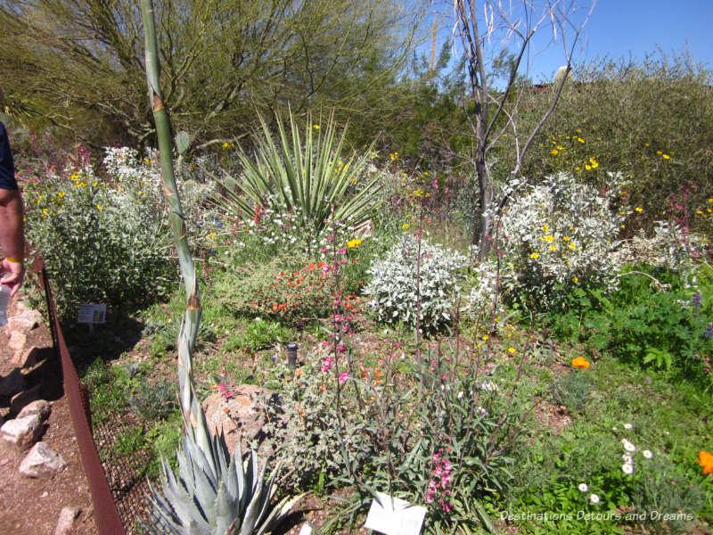 Wildflowers at Phoenix Desert Botanical Garden