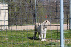 White tiger at Turpentine Creek Wildlife Refuge in Eureka Springs, Arkansas