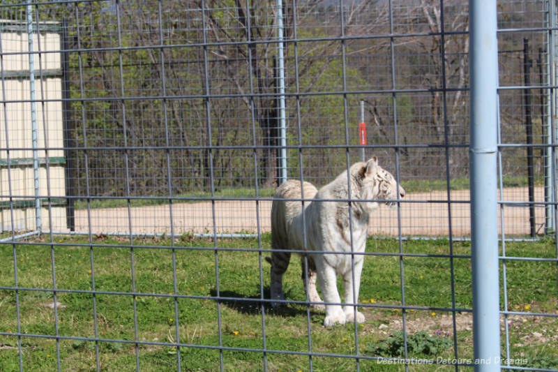 White tiger at Turpentine Creek Wildlife Refuge in Eureka Springs, Arkansas