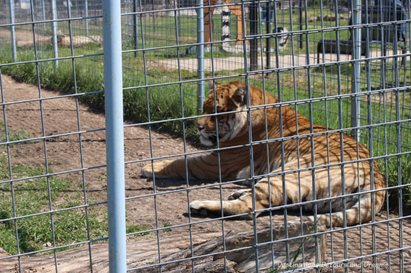 Tiger at Turpentine Creek Wildlife Refuge in Eureka Springs, Arkansas
