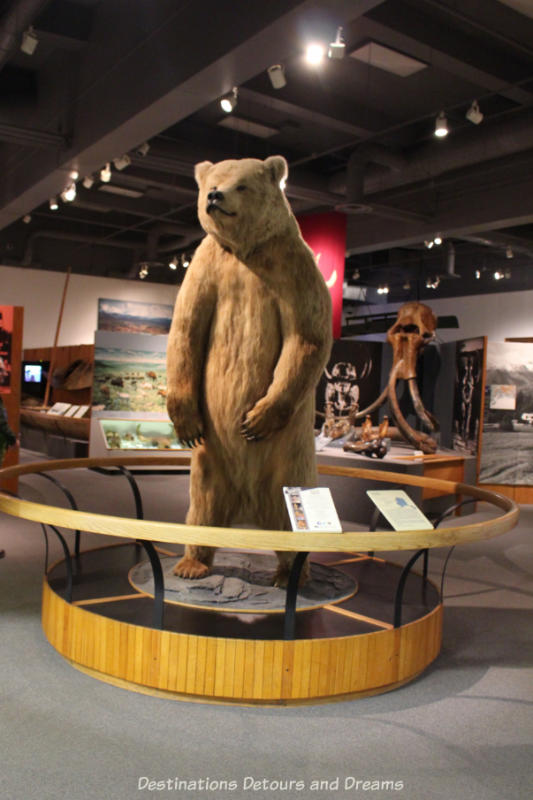 Brown bear at entrance to Alaska Gallery in Museum of the North