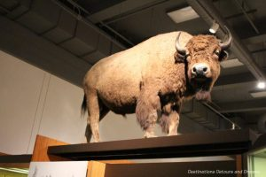 A 36,000-year-old mummified Alaska steppe bison at Museum of the North
