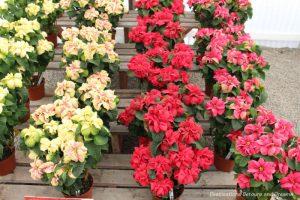 Poinsettias at Carlsbad Ranch