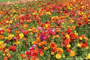 Carlsbad Ranch Flower Fields in spring