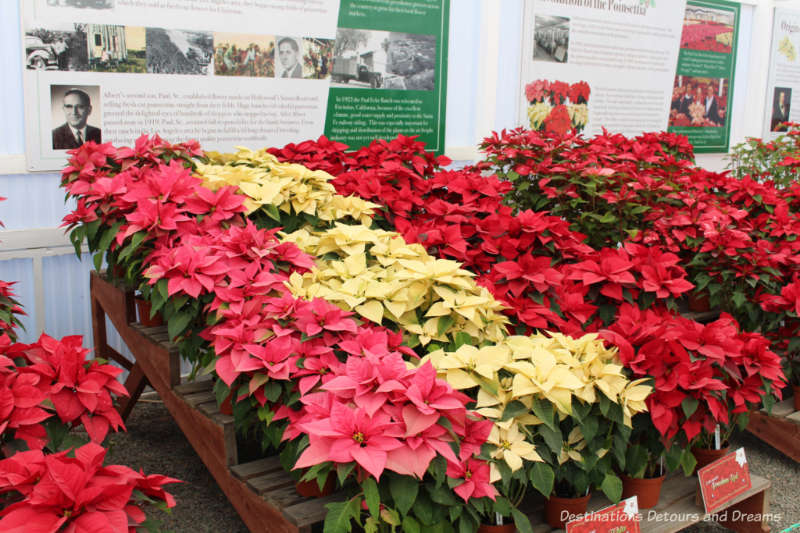 Poinsettias at Carlsbad Ranch