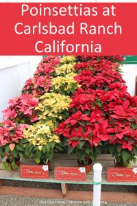 Poinsettias at Carlsbad Ranch: Learning about how the poinsettia became associated with Christmas at a spring display at Carlsbad Ranch, California #poinsettia #California #Christmas