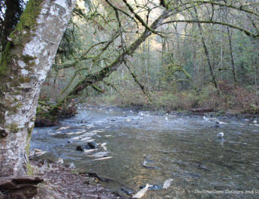 Salmon run at Goldstream Provincial Park