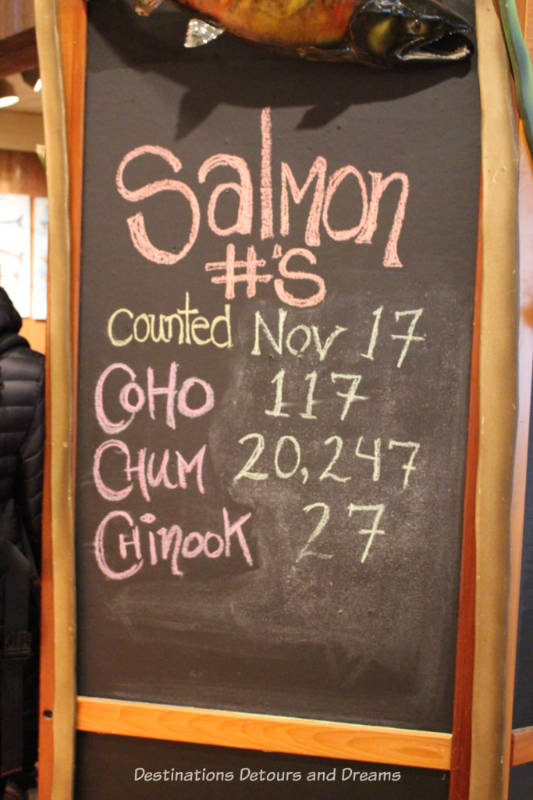 Salmon run counts at Goldstream Provincial Park on Vancouver Island