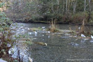 Salmon run in Goldstream River on Vancouver Island