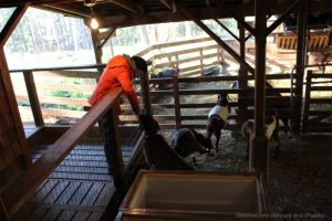 Goats at Salt Spring Island Cheese Company, Canada