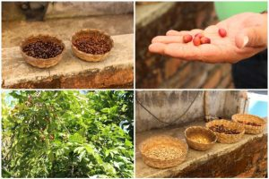 Various stages of coffee bean processing at La Quinta Mari, San Sebastián del Oeste, Mexico