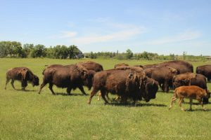 Bison safari at FortWhyte Alive, Winnipeg, Manitoba