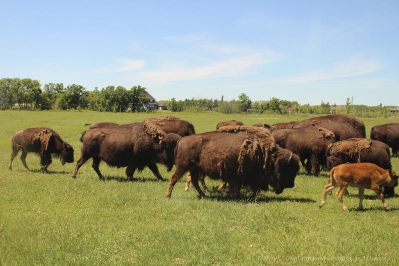Bison safari at FortWhyte Alive, Winnipeg, Manitoba