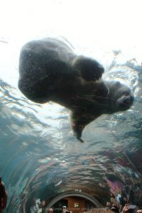 Polar bear viewed from underwater tunnel at Journey to Churchill Exhibit at Assiniboine Park Zoo, Winnipeg, Manitoba