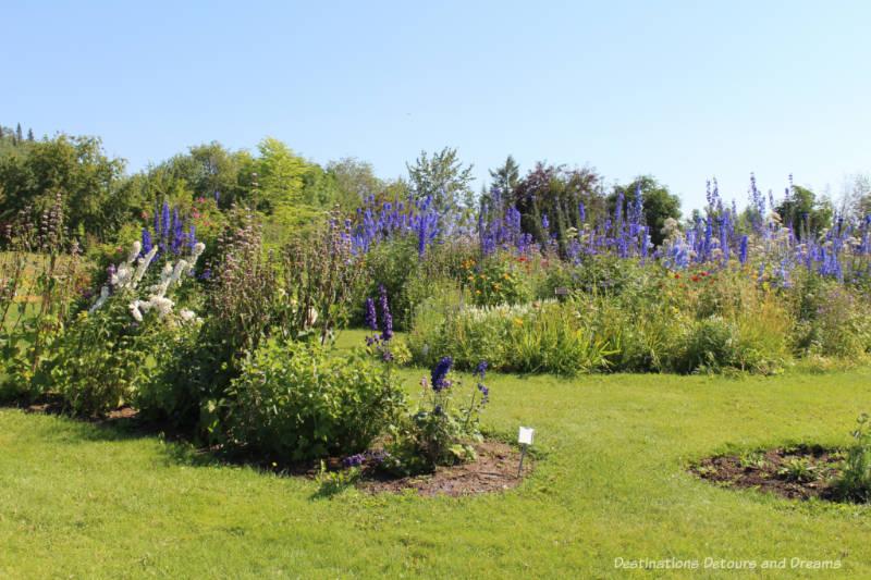 Blue Delphiniums blooms at Georgeson Botanical Garden in Fairbanks, Alaska
