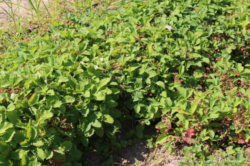 Strawberry plants at Georgeson Botanical Garden in Fairbanks, Alaska