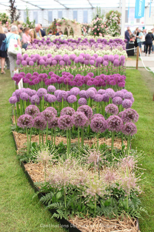 Alliums at the Chelsea Flower Show