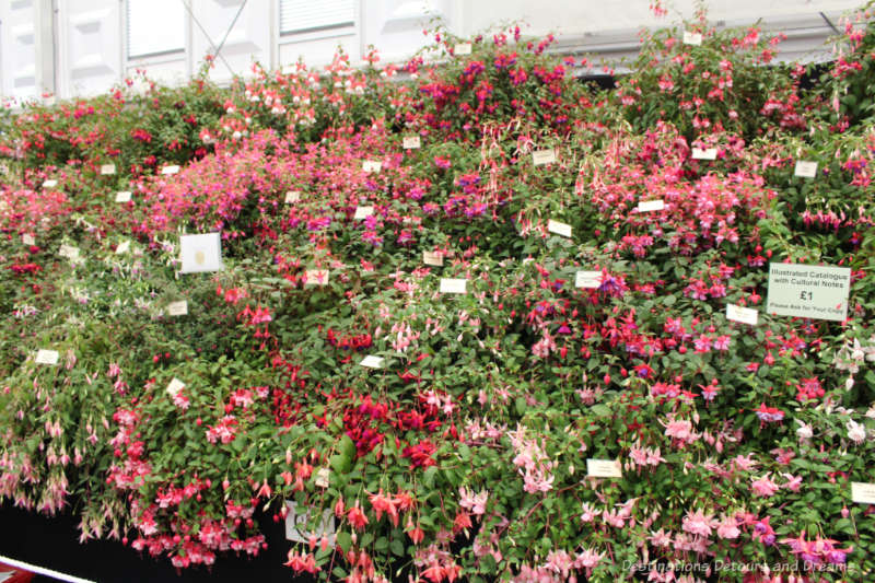Fuchsias at the Chelsea Flower Show
