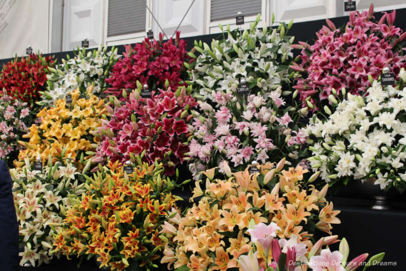 Lilies at the Chelsea Flower Show