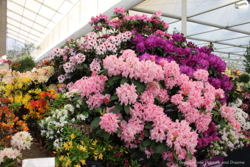 Rhododendrons at the Chelsea Flower Show