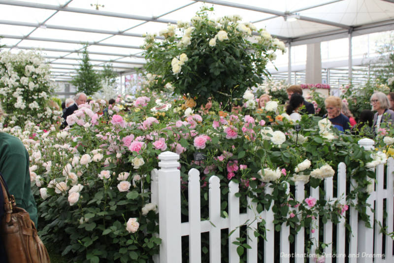 Roses at the Chelsea Flower Show