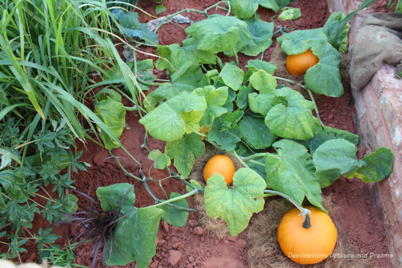 Pumpkins growing in the CAMFED garden at the 2019 Chelsea Flower Show