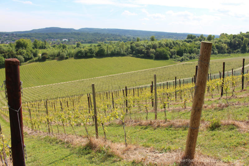 Grape vines growing on the hill with a view of the North Downs