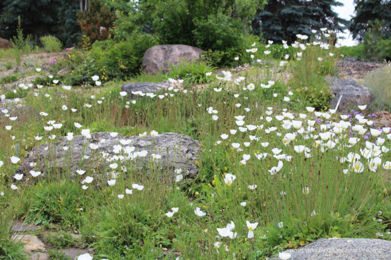 White flowers blooming in the meadow at the Patrick Seymour Alpine Garden