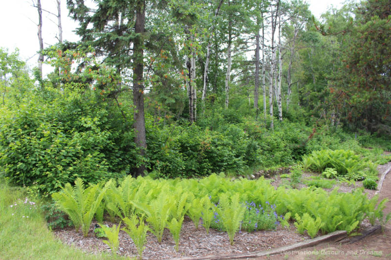 Ferns in foreground with trees in background at the University of Alberta Botanic Garden
