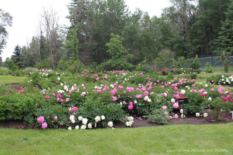Peonies at University of Alberta Botanic Garden