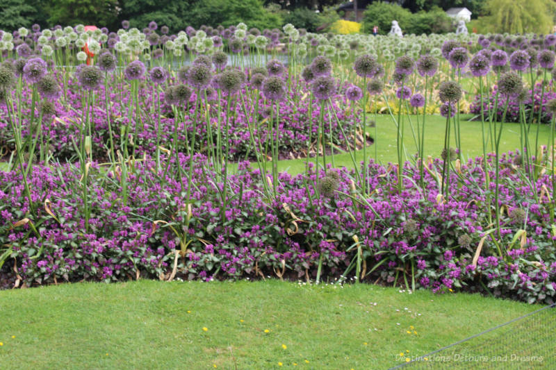A field of purple allium blooms at Kew Gardens