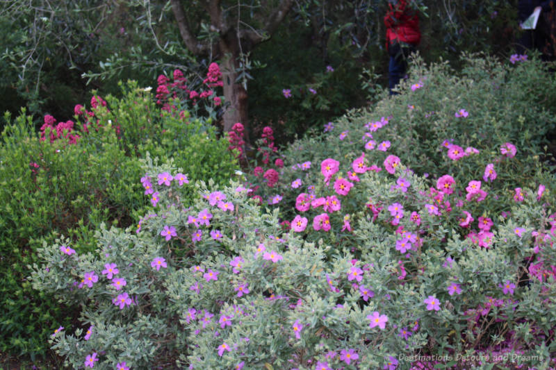 Pink and fuchsia flowers on shrubs at Kew
