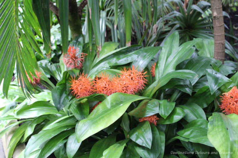 Orange spikey flowers amid palm leaves in the Palm House at Kew