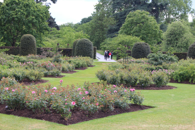 Beds of roses in Kew Rose Garden which is surrounded by shrubs and trees