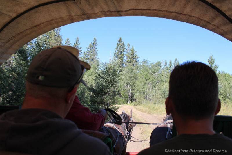 Looking out the front of a horse-drawn covered wagon on a trail bordered by aspen and spruce in Spirit Sands, Manitoba