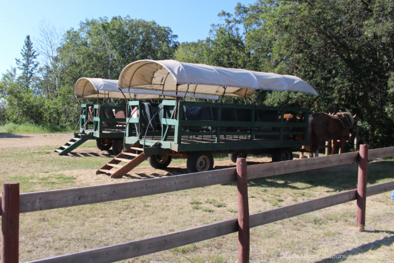 Horse-drawn covered wagons waiting to take a tour through Spirit Sands in Manitoba