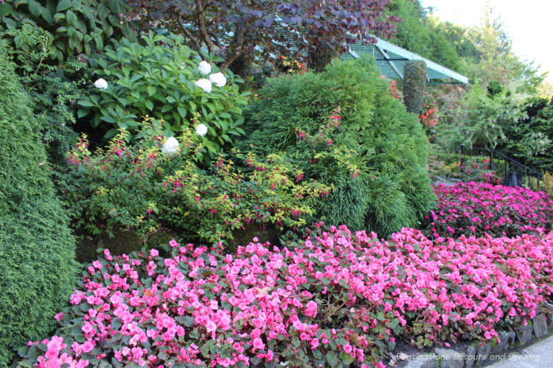 A massive planting of pink flowers with taller green shrubs and trees behind them