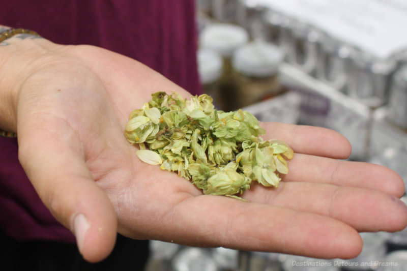 Woman holding hops in her hand