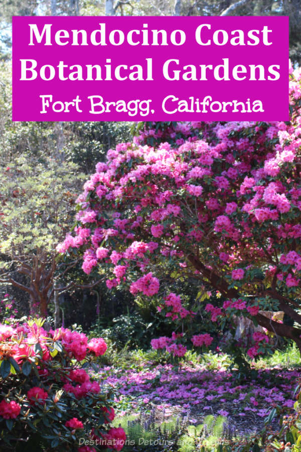 Mendocino Coast Botanical Gardens in Fort Bragg, California is located along the scenic Pacific Coast. It is particularly known for its rhododendrons in spring. #California #garden #rhododendron #PacificCoastHighway