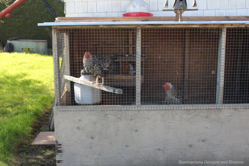 Chickens in their pen at The Roost