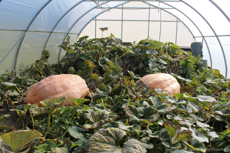 Giant pumpkins growing in greenhouse at The Roost